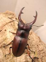 スマトラアスタコイデス