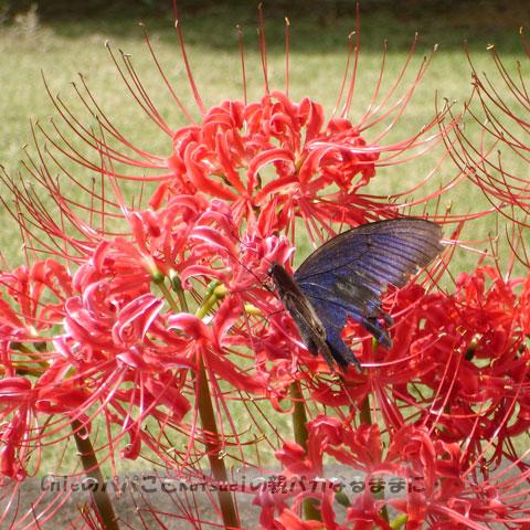 旧古河庭園の彼岸花2009-09-24