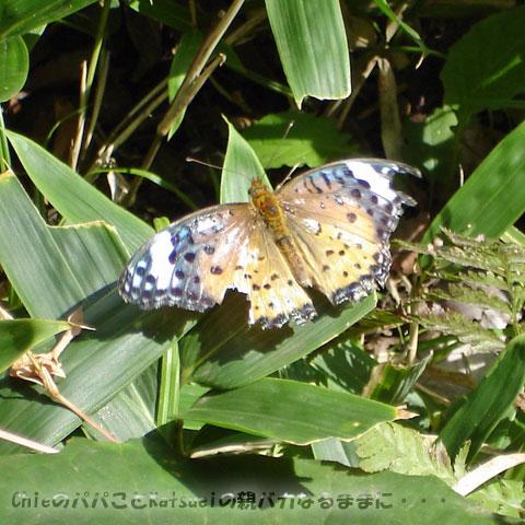 旧古河庭園 ツマグロヒョウモン2009-09-24