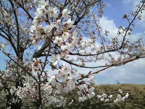 桜 1004180005