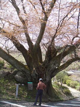 石割桜 3 1005020023