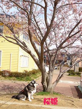 桜姫 6 060409 0004のコピー
