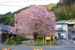河津桜原木2