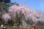 敷島公園のシダレサクラ5