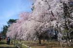 敷島公園のシダレサクラ6