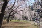 敷島公園のシダレサクラ3