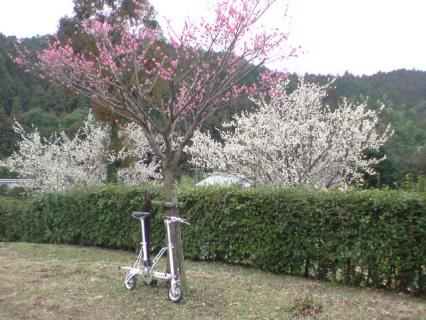 plum_trees