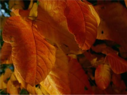 autumn_leaves1435
