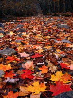 autumn_leaves112908