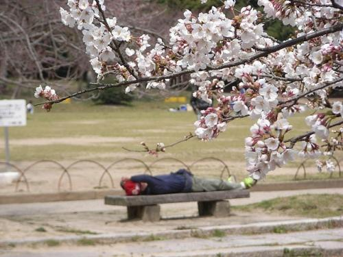 homeless_and_cherry_blossom