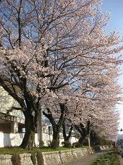 IMG_0709笠間中桜