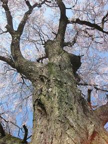 IMG_0707名木しだれ桜