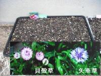 草花の種蒔2