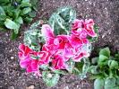 花壇の衣更5-133