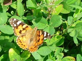 きれいな蝶