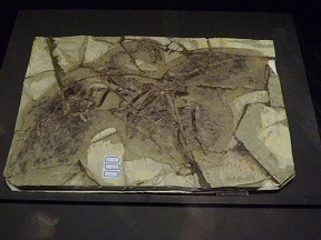 アンキオルニスの化石 日本初公開の実物です
