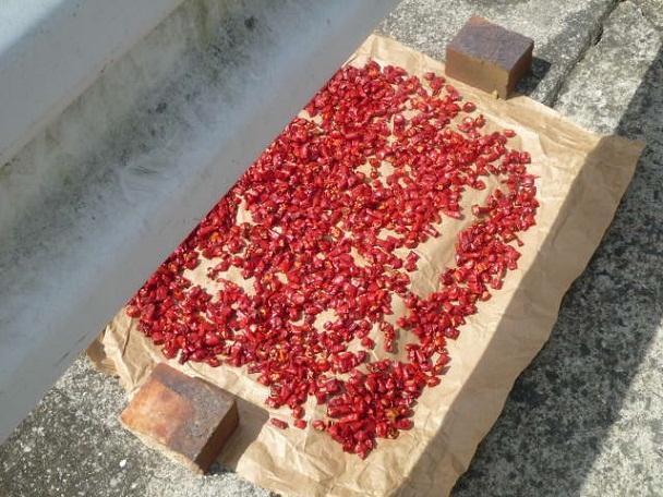 赤いほうの唐辛子を干しているところ 赤いほうも自家製です