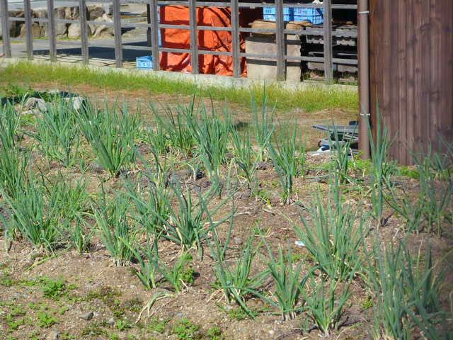 裏のネギ畑