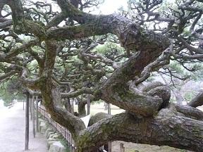 まるで生き物のような松の枝ぶり 松も生き物じゃ~