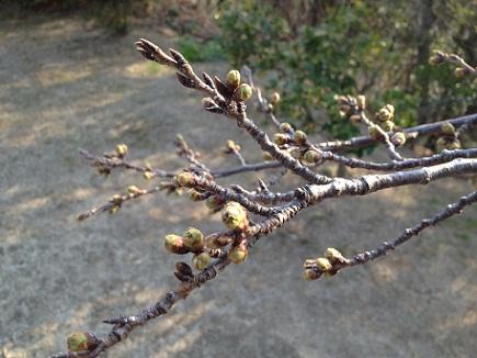 大空山の桜3282012S1