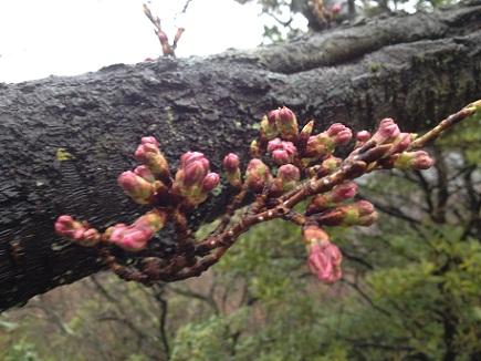 大空山の桜3312012S1
