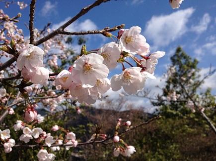 大空山桜40712S8