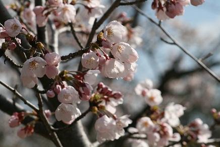 大空山桜40712S9