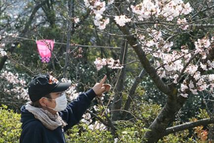 大空山桜40712S11