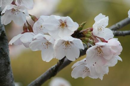 大空山桜40812S15