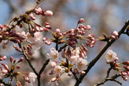 大空山桜40812S14