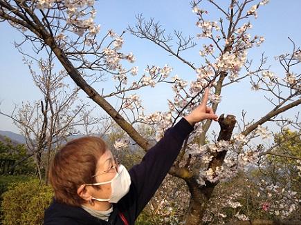 大空山桜40812S20