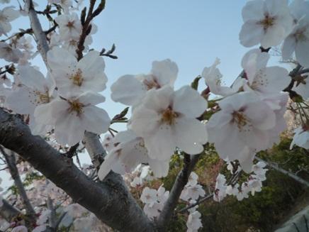 大空山桜40912S22