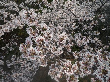 大空山桜40912S23
