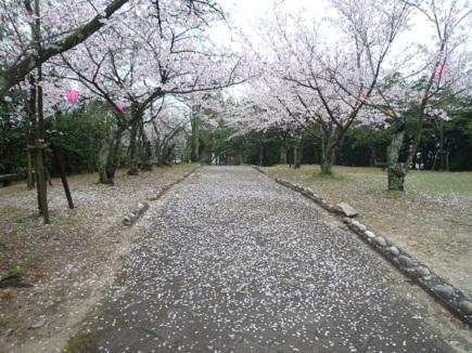 大空山桜41112S30