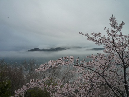 大空山桜41112S31