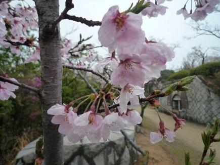 大空山桜41112S32