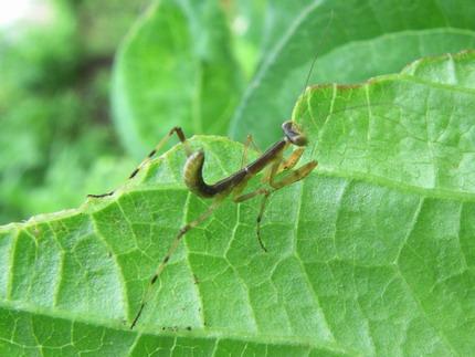 100623カマキリ幼虫