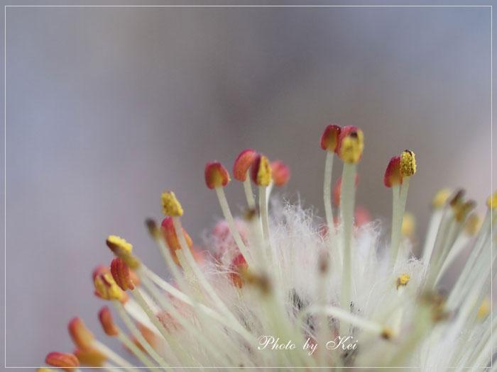 ネコヤナギの花♪