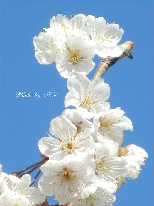 サクランボのお花♪