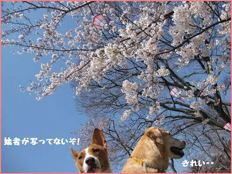 青空と桜最高ね。