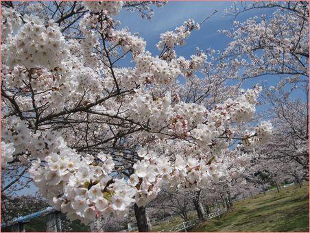 こんな桜を見に行く予定だった・・
