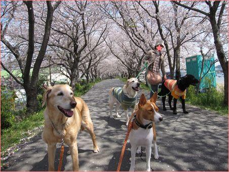 楽しく4ワンの散歩。