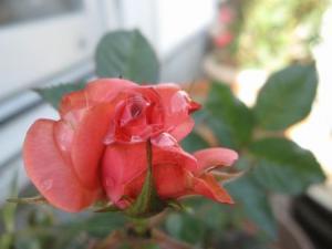 我が家のバラ1輪