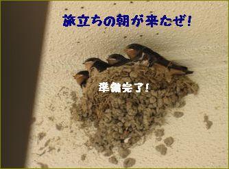 5羽いたつばめさん。