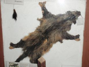 ハクビシン標本