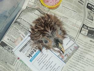 フクロウ頭部標本