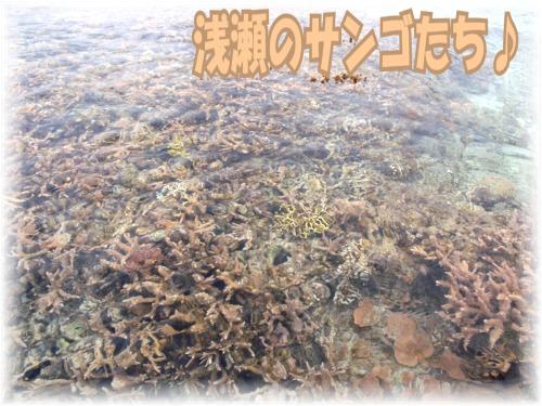 浅瀬のサンゴたち