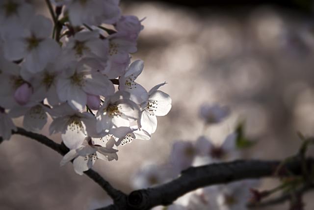 090404_004_桜