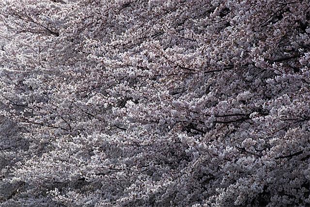 090404_005_桜