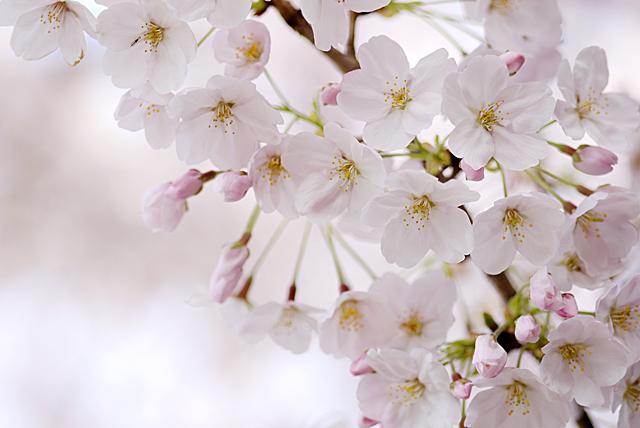 090405_006_桜